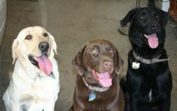 Каждая 10 собака в Хакенсаке - Лабрадор