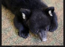 Наблюдать за осиротевшим  Нью Джерсийским медвежонком в реальном времени