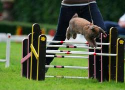 Кантихоппиинг - соревнования в прыжках для кролей