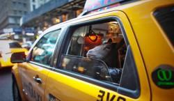Сайрус Фаркодин и его домашний козел Кокоа берут такси в Нью-Йорке.