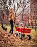 NYC cool: English Bulldog Wagon Ridin'
