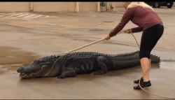 Christy Kroboth-лицензированый ловец крокодилов спасала Хьюстон от огромной рептилии