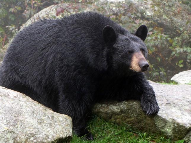 В Нью-Джерси застрелили 470 черных медведей