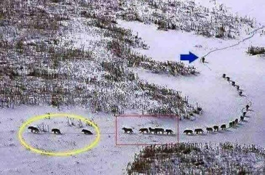 Wolf pack & strategy:
