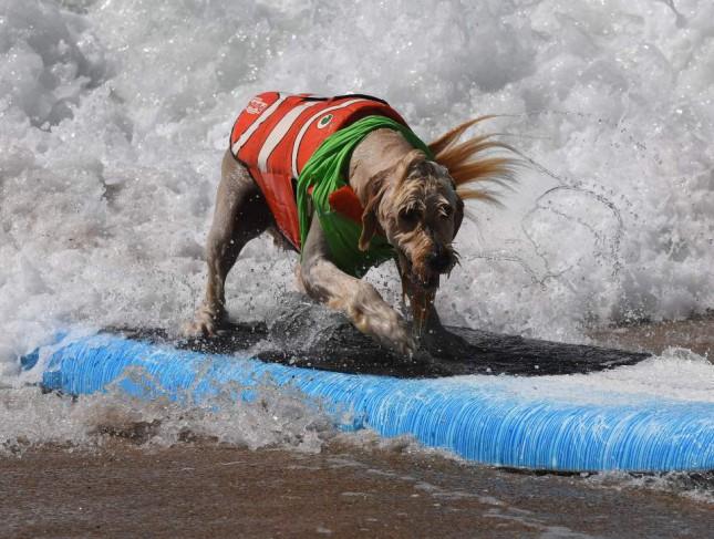 Соревнования по серфингу среди собак
