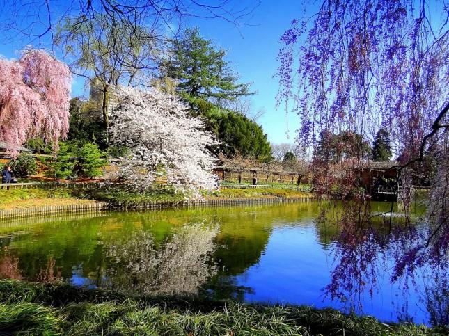 Лучшие места, чтобы увидеть цветение сакуры в Нью-Йорке