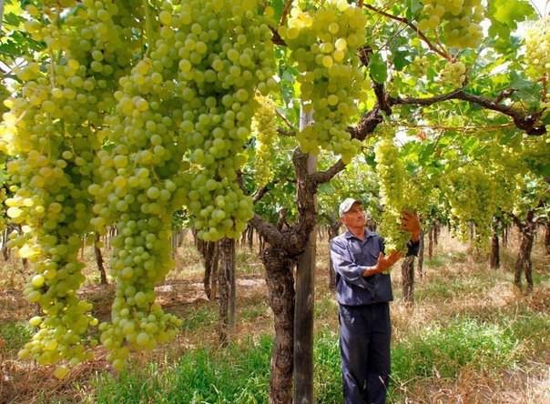 Виноградные деревья
