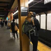 Пес должен находится в переноске или в сумке.