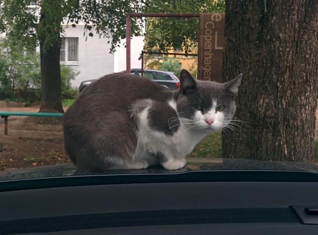 Кошка прокатилась на крыше авто и попала на видео