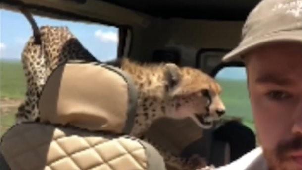 Опасный гость: в Танзании гепард залез в автомобиль туриста