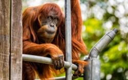 Умерла самая старая на планете самка орангутана